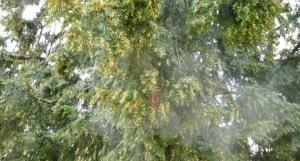 polen tejo de Olloniego