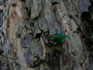 brote tronco del texu de Montovo. Belmonte de Miranda. enero 2009
