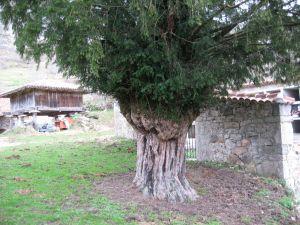 sroman-tronco