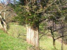 tronco-castanedo