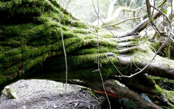 tronco sueve