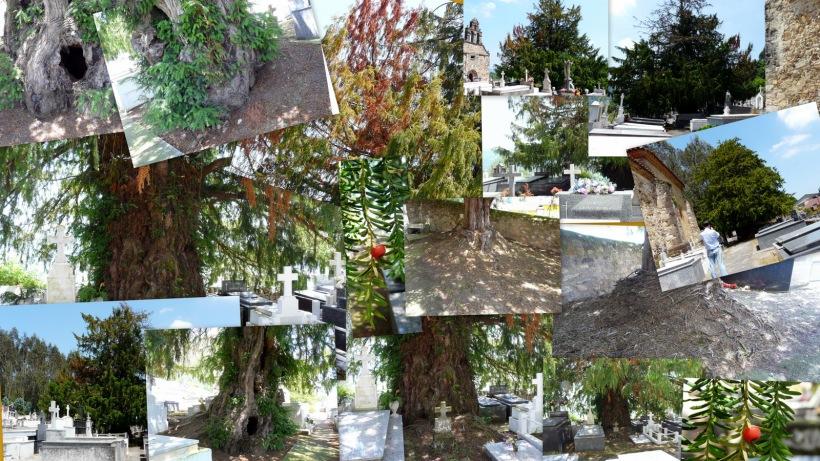 tejos cementerio de Salas