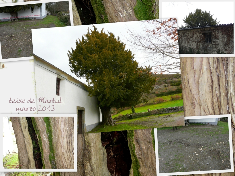 composición fotos tejo de Martul. marzo 2013
