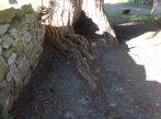 1-raíz tejo San Martín