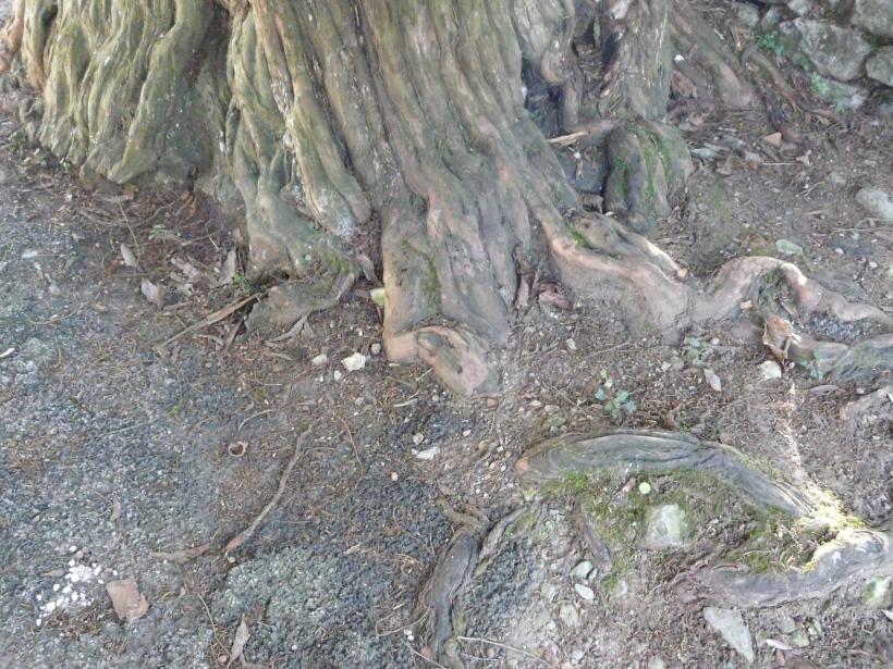 tronco tejo San Martín del Mar