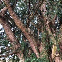 ramas rotas tejo Ceñal